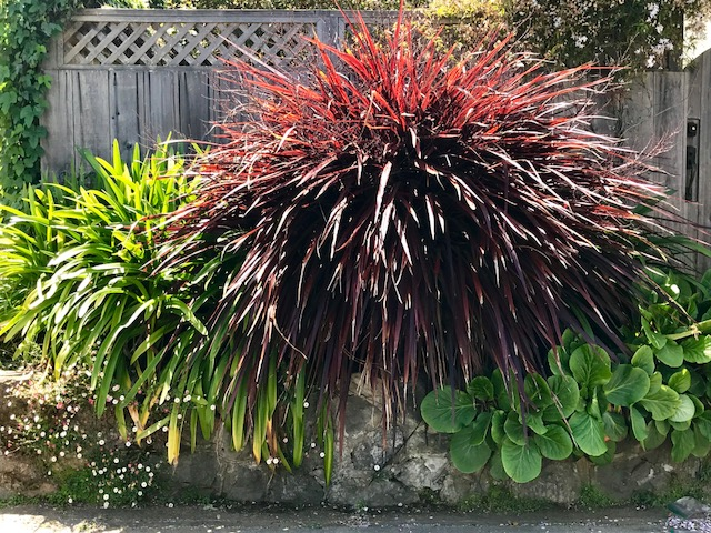 Cordyline 'Design A Line Burgundy' San Francisco, CA