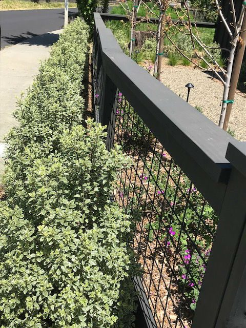 Recently planted variegated Pittosporum hedge for screening. Mill Valley, CA