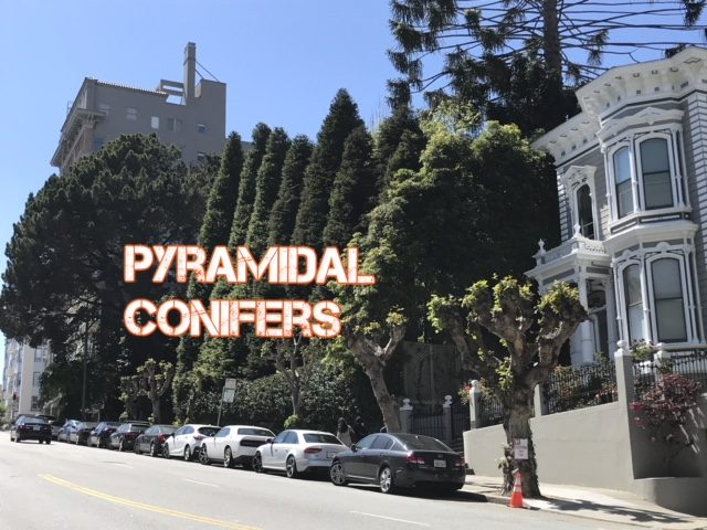 Giant pyramidal conifers. San Francisco, CA