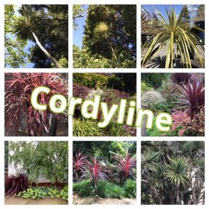 photo collage Cordyline plantings