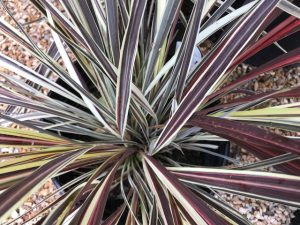 Cordyline 'Electric Flash'