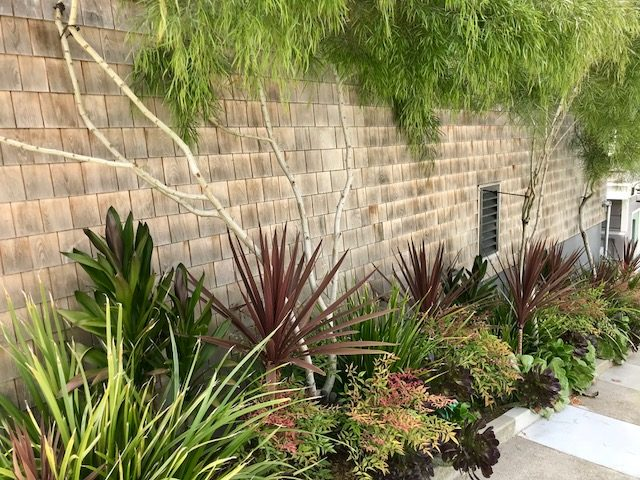 Cordyline 'Red Star' in San Francisco Street Planting