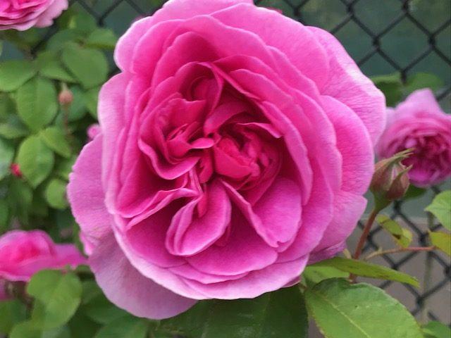 Gertrude Jeckyll rose