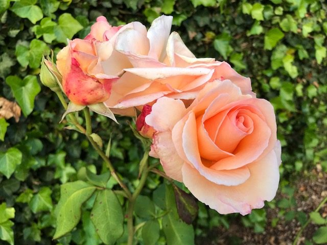 Apricot Nectar rose