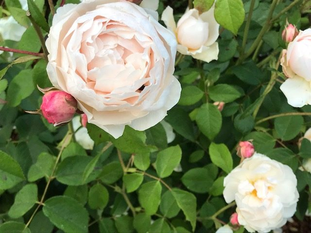 Windermere creme to white rose