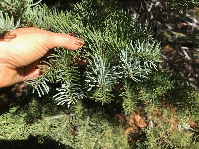 red fir tree needles