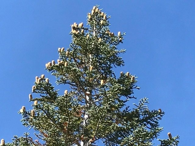 California Red Fir with upright cones