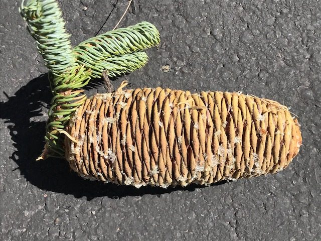 California Red Fir -cone