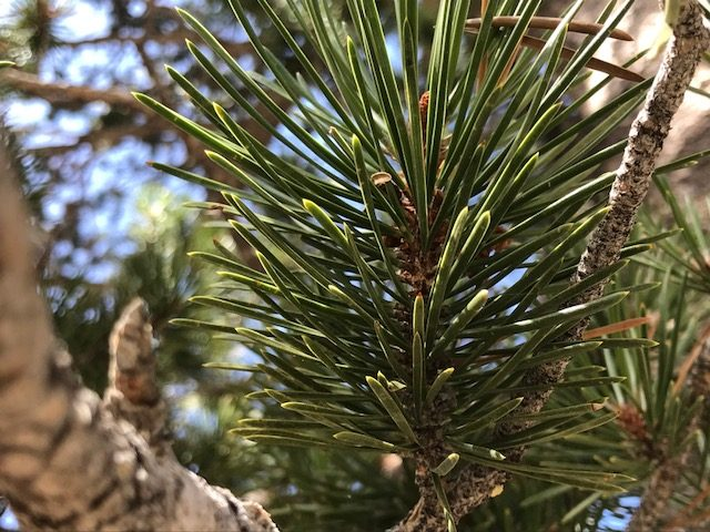 Pinus contorta var. murrayana needles 2 per bundle