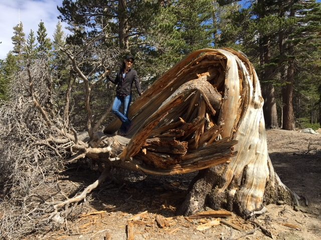 dead contorted lodgepole pine, mammoth, ca