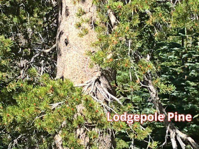 Logdepole pine in Sierra Nevadas