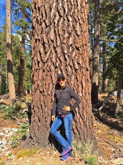 California red fir old trunk