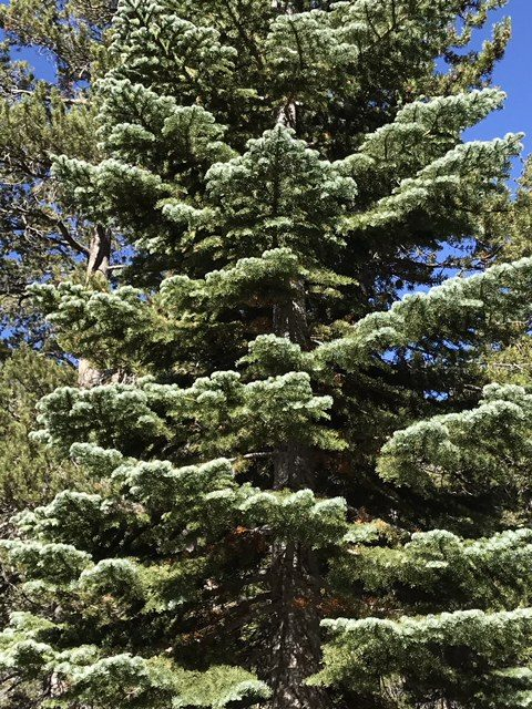 Abies magnifica Mammoth, CA