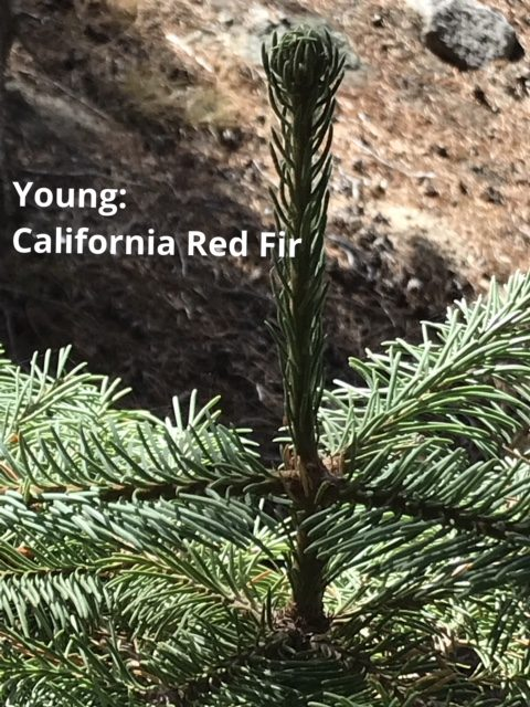 Young California red fir tree