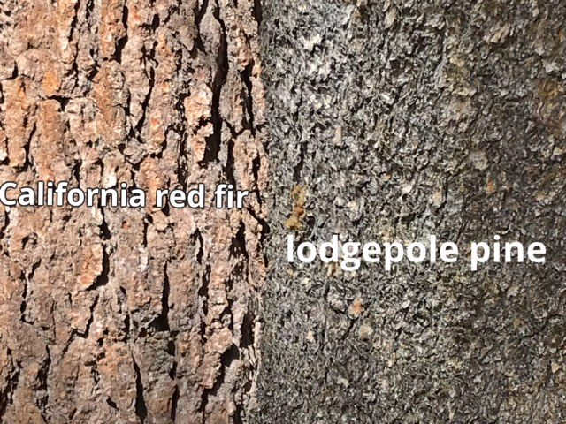 Bark comparison: lodgepole pine vs. California red fir