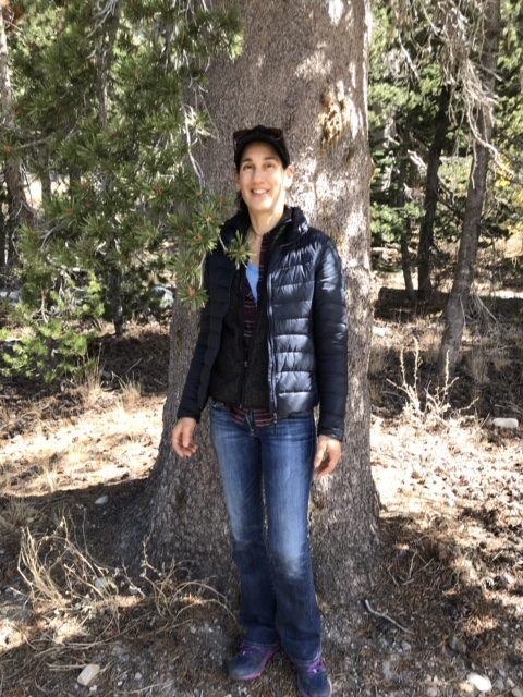 lodepole pine in mammoth ca
