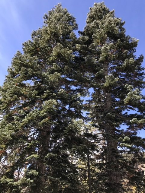 California red firs, Mammoth, CA