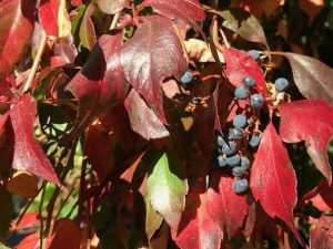 fall color vine:Virginia creeper