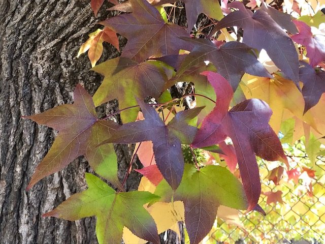 Close up Liquidamber leaves turning beautiful shades yellow, purple, orange, red.