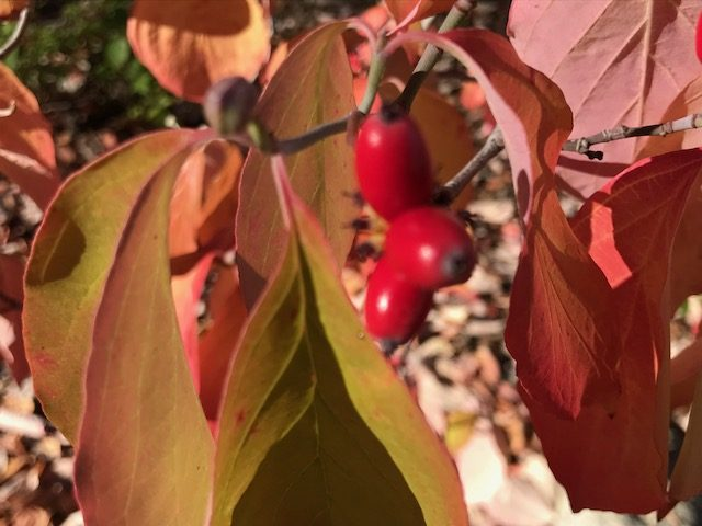 Red berries, Dogwood tree