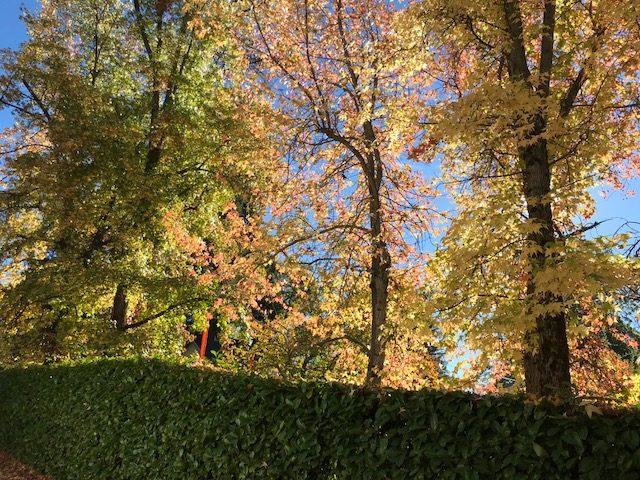 Liquidamber trees, Nevada City, CA, Fall color