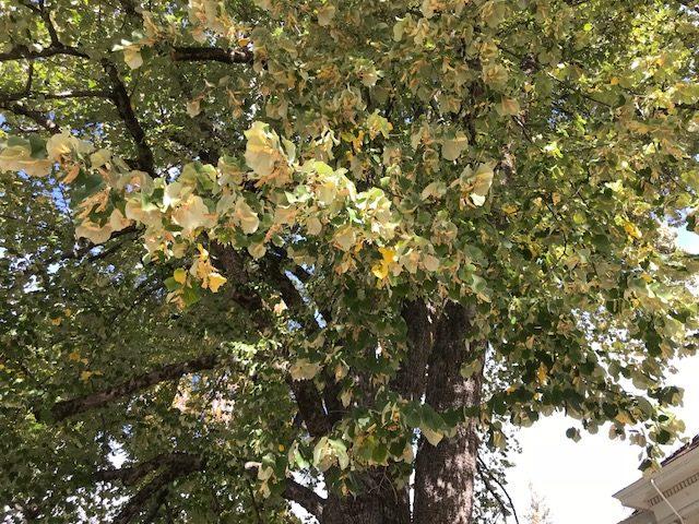 American Linden Tree. Nevada City, CA