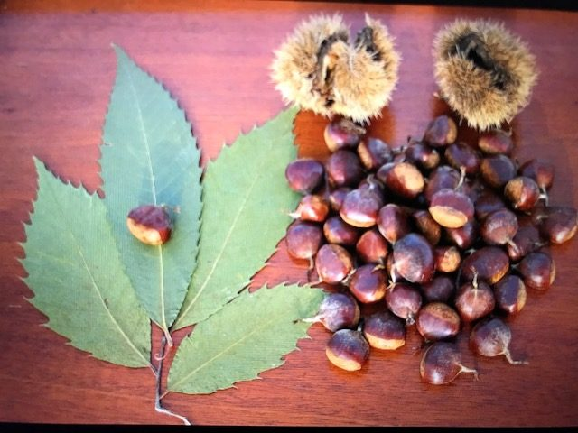 closeup: chestnut, burr, leaves