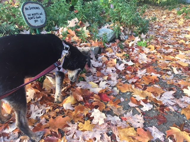 Fall Color and leaves with dog, Roz, Nevada City, CA
