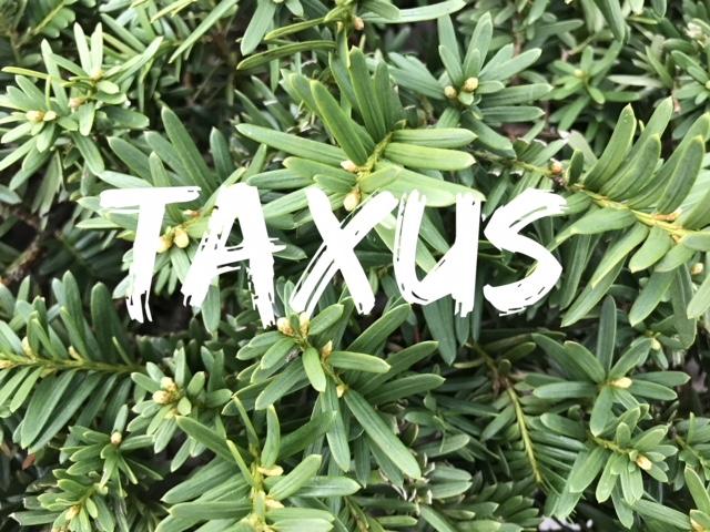 Taxus -Yew