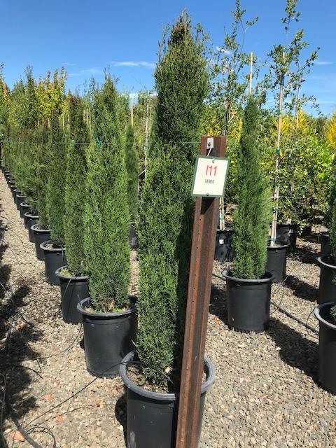 Italian Cypress in 15 gallon pots