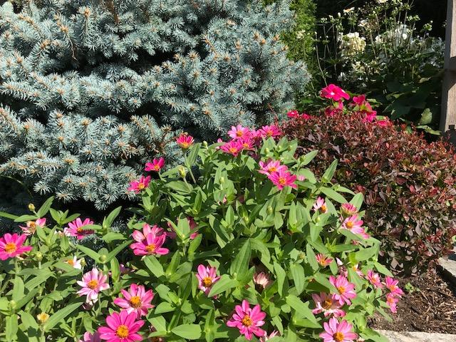 Dwarf Globe Blue Spruce mixed planting