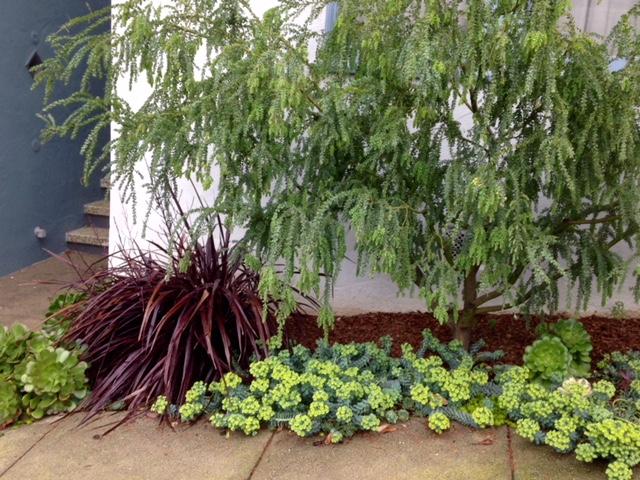 Acacia cultriformis – Knifeleaf Acacia
