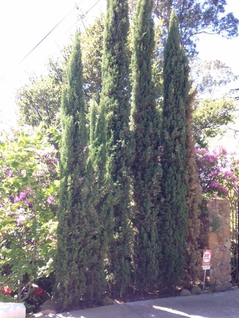 Cupressus sempervirens - Italian Cypress