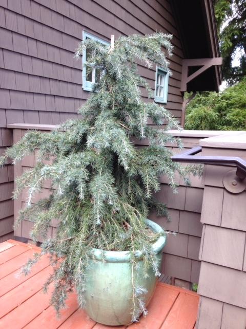 Deodar Cedar in Pot. Mill Valley, CA