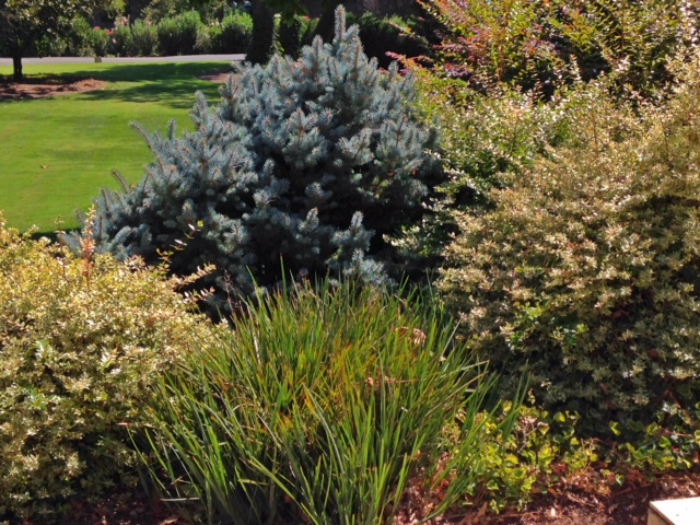 Dwarf Blue Globe Spruce, Beringer Winery, Napa, CA