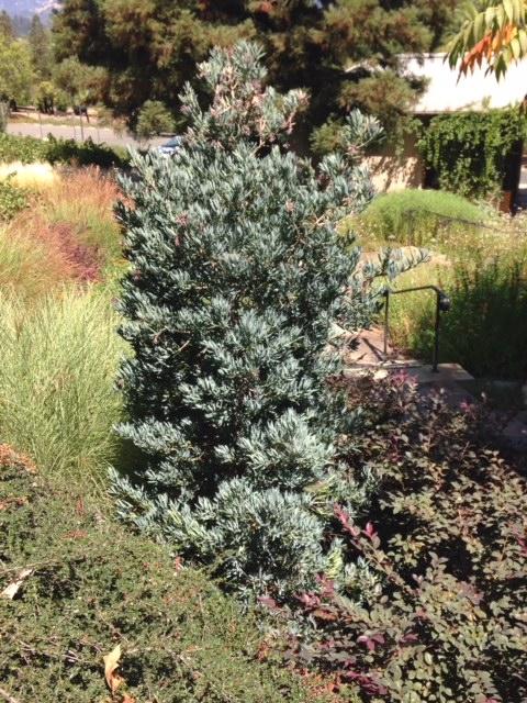 Podocarpus elongatus Icee Blue