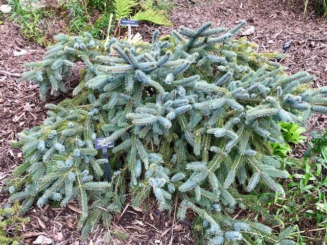 Picea bicolor (alcoquiana) 'Howell's Dwarf' - Howell's Dwarf Spruce
