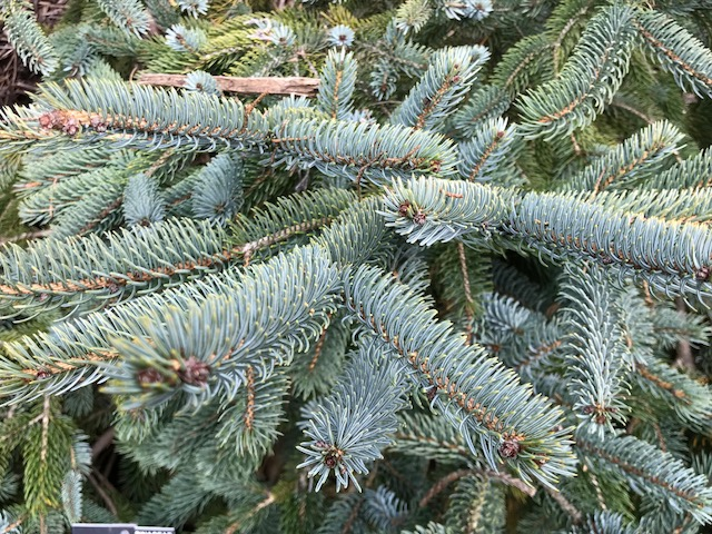 Howell's Dwarf Spruce - Close-Up