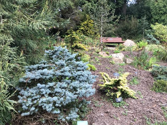 Picea pungens 'Globosa'