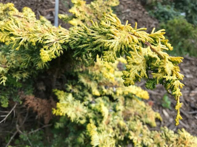 Chamaecyparis fernspray gold SF bot