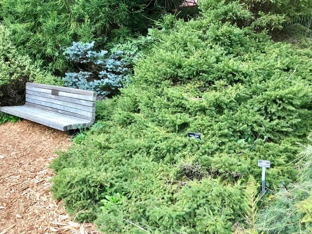 Picea abies 'Pendula' low shrub form