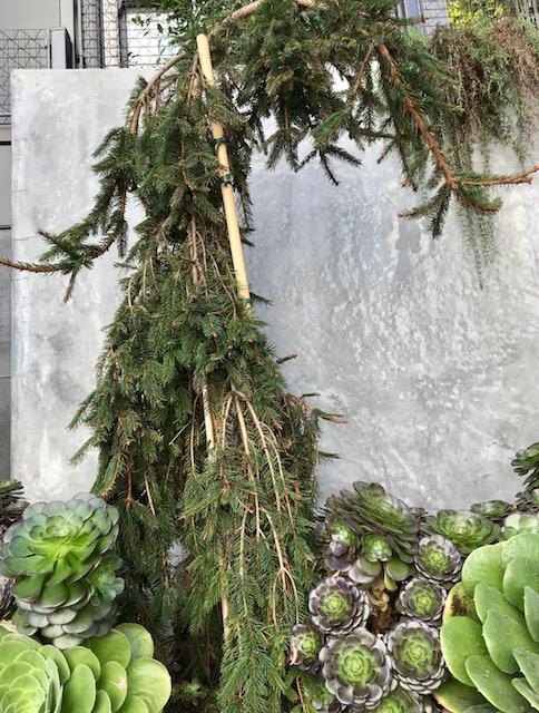 Picea abies 'Pendula' - Weeping Norway Spruce in Russian Hill, San Francisco