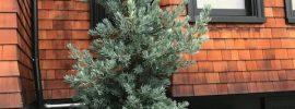 Podocarpus elongatus 'Monmal' Mill Valley, CA