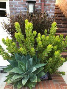 Protea family plants. SF, CA
