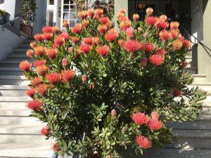 Leucospermum