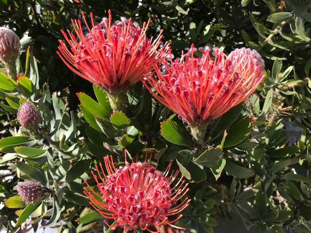 Closeup Leucospermum flowers. SF, CA