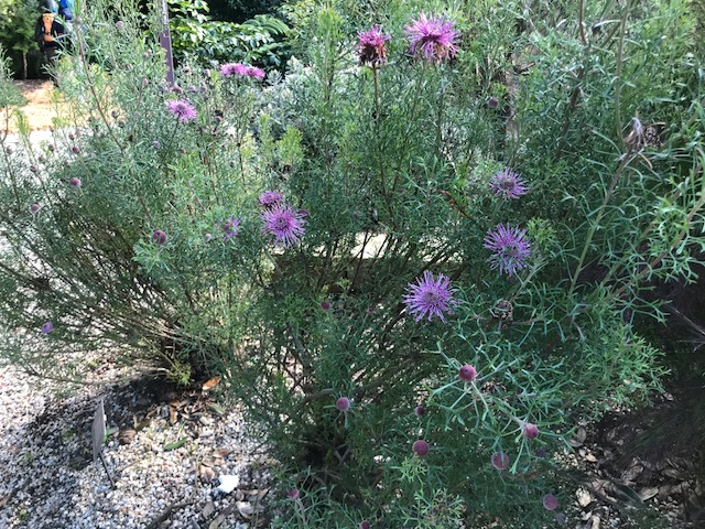 Isopogon in flower. SF Bot Gardens.