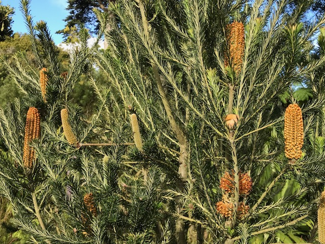 Banksia in Feb. flower. SF Bot Garden.