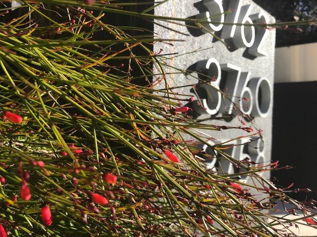 Russelia equisetiformis. Noe Valley, SF.