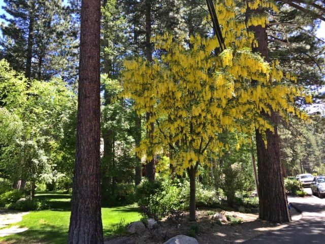 Vossii Golden Chain Tree - Laburnum x watereri 'Vossii' blooming Incline Village, NV